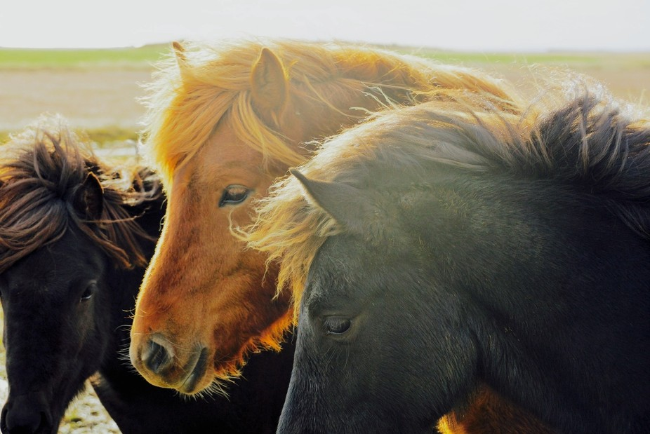 I was traveling around Iceland with my camera and saw a herd of Icelandic Pony'&#039...