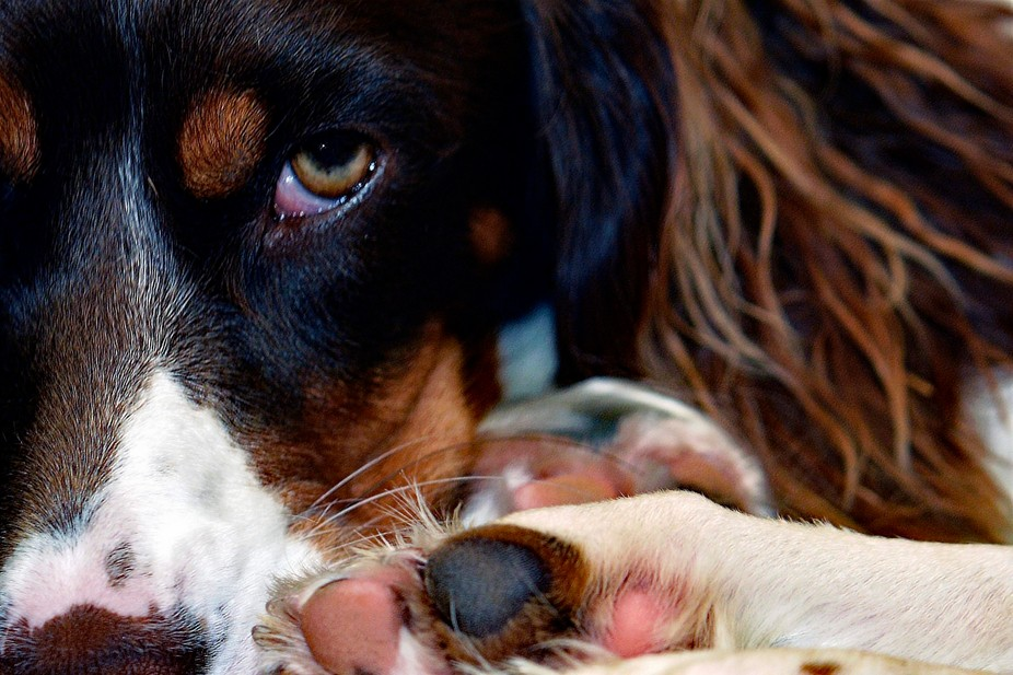 This is my Dog named Sadie, she is an English Springer tricolor Photo taken on 8/28/16 at 10:49 a...