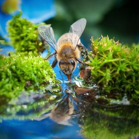 Bee drinking from a small brook. Bee drink on a hot day from a small stream