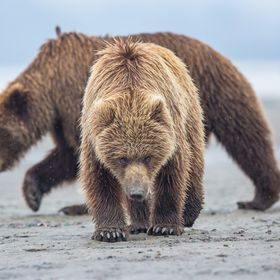 Brown bears on the mud flats of Lake Clark National Park in Alaska, guard their territory and keep an eye on the nearby photographers.