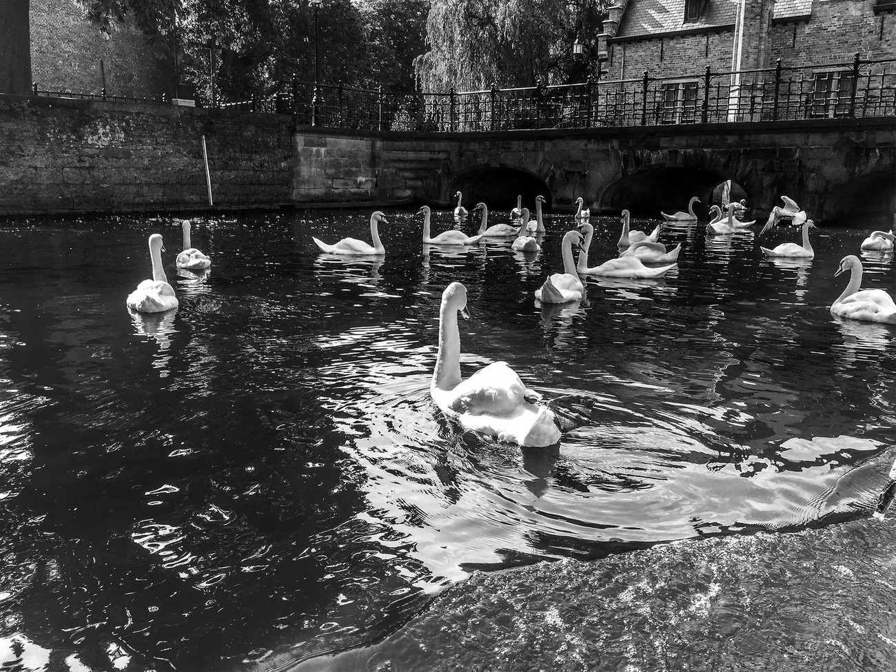 A flock of swans gather near a bridge on a canal in Bruges, Belgium