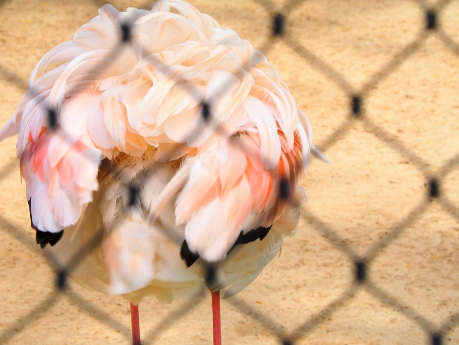 Caged Flamingo