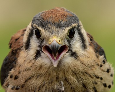 Call of the Kestral