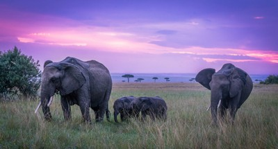 Elephant Calves and their Mothers in the Sunset