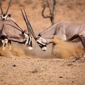 Oryx (Gemsbok) sparring for territory