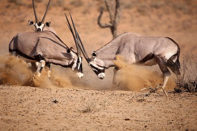Oryx sparring