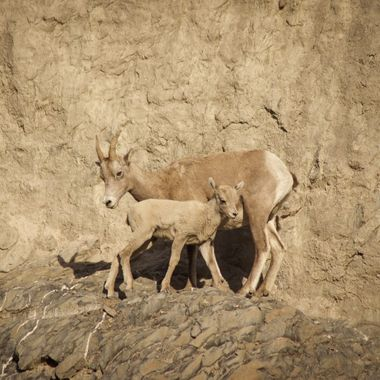 Mother and Baby big horn sheep, in the Rocky Mountians of Canada