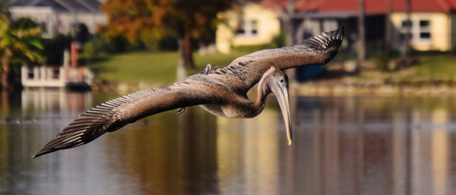 A female pelican coming down for a closer look. Taken on Lake Christina in Port Richey Florida.
