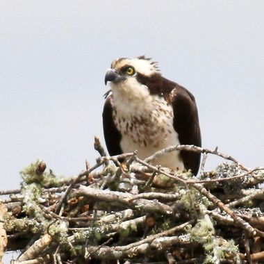 Osprey pissed off