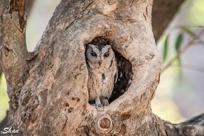 The Owl Ranthambore National Park India  by shanbalasubraminiyam - Can You See Me Photo Contest
