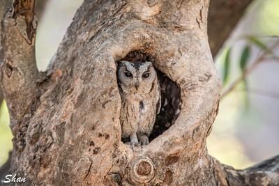 The Owl Ranthambore National Park India