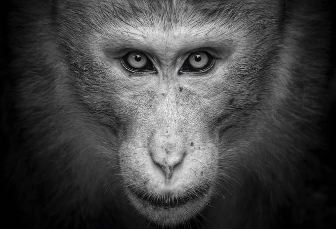 A portrait of a king  by nyanamoli - Monkeys And Apes Photo Contest
