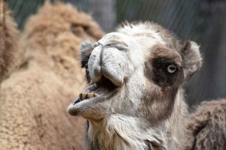 Camel at a rescue zoo in upstate NY