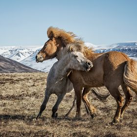 Two Icelandic horses playing on their free playground, in the clean and fresh nature. The spring weather was beautiful, rather chilly and windy b...