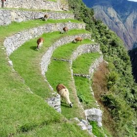 Andean llamas grazing on the slopes of the mountains that surround Machu Picchu - Peru.