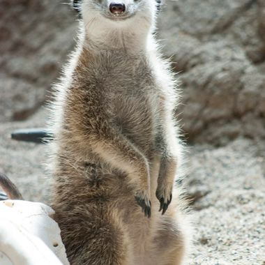Meerkat Outlook