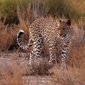 Found this leopard late afternoon in the Kgalagadi Transfrontier park South Africa