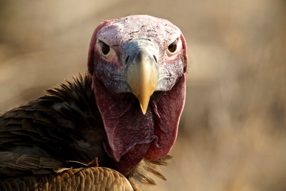 The Lappet is the largest of all South African Vultures and is often needed by the other species ...