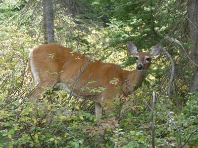 Highline Trail 146 White Tail Deer