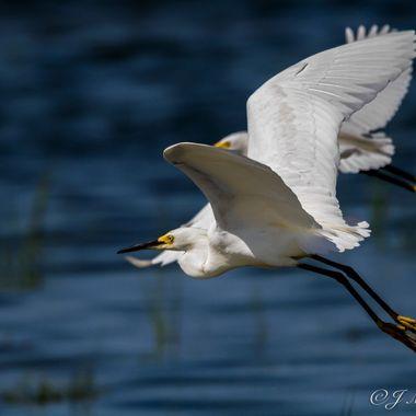 Egrets Taking Off