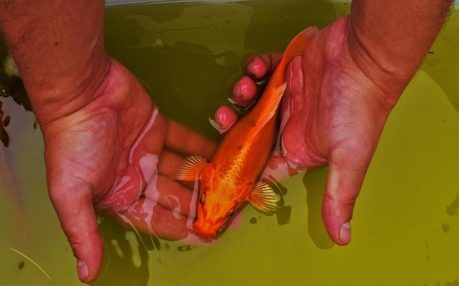 One of my fishkois
