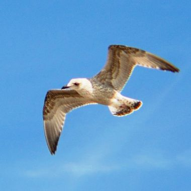 Flying Seagull Chick.