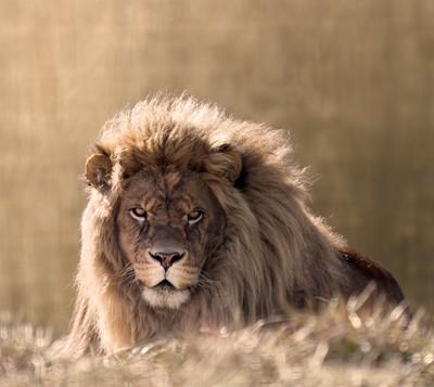 Sunlit Lion