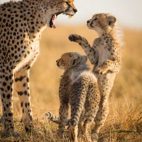 This is Malaika, the most famous cheetah of the Masai Mara Reserve in Kenya with its two new cubs. The youngsters, a male and a female, are three...
