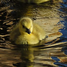 One of 4 Goslings that i captured during the summer of 2016 in Hinton Alberta.