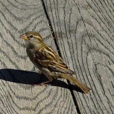 Sparrow on  pub table.