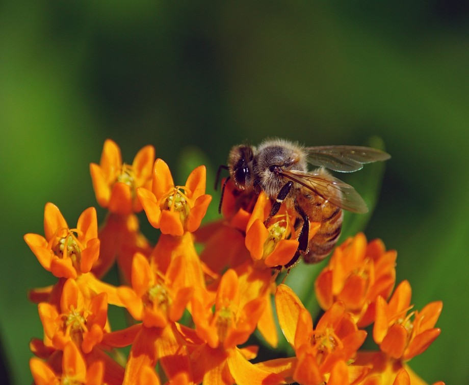 Orange Milkweed and a honey bee