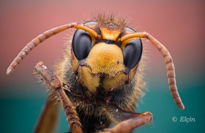 giant wasp portrait by Elchin_Jabbarov - Yellow Beauty Photo Contest
