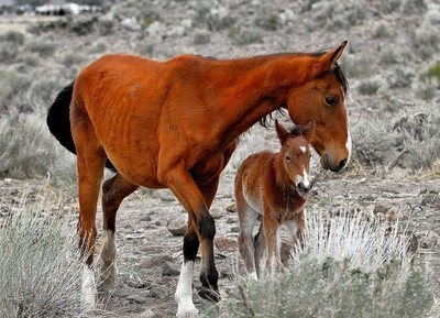 Wild Mustang, New Colt and Mare.