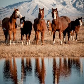 Wild Horses on the Snake River Bottoms in Southeast Idaho.