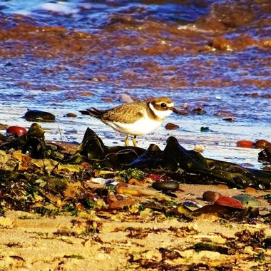 Sandpiper enjoying sea shore feeding on insects at waters edge
