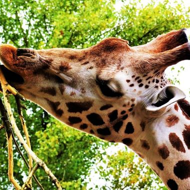 Visiting the elegant Giraffes at Chester zoo