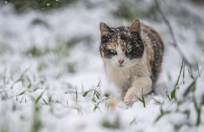 My cat is playing in the snow