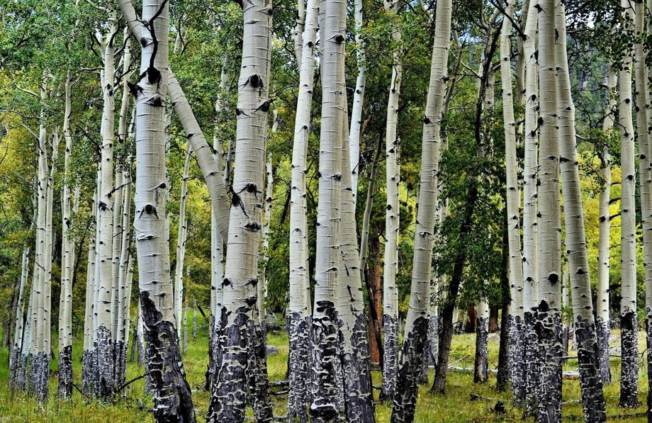 This is my favorite Aspen photo of a grove of aspens in Rocky mountain natinal park in fall.