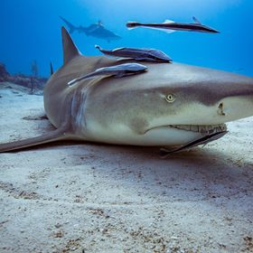 Lemon shark at a cleaning station. Tiger Beach, Bahamas.