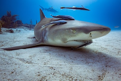 Lemon Shark at a cleaning station
