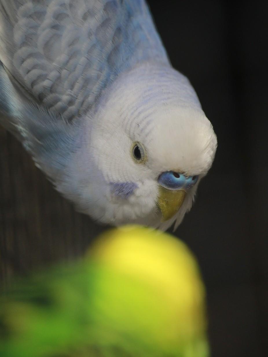 love inside cage ...love birds