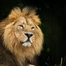 This is Iblis Asiatic lion taken at Chester Zoo uk