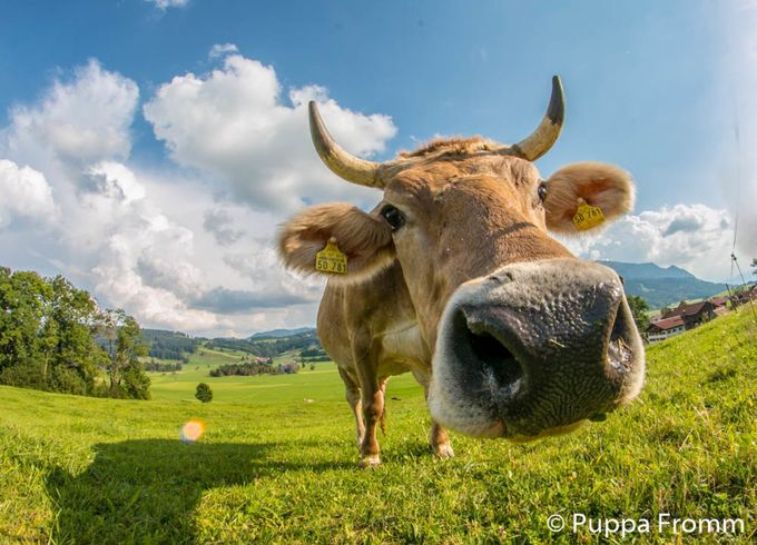 Allgäu Cow by Pupparazzi - Farms And Barns Animals Photo Contest