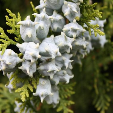 I love the shape, texture and look of the berries against the cedar leaves.