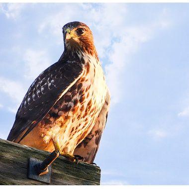 Hawk on t-pole clouds