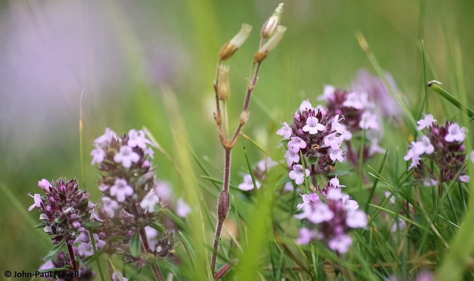 Wild Thyme in flower at Fontmell Down DWT. It smelled amazing as you walked through.