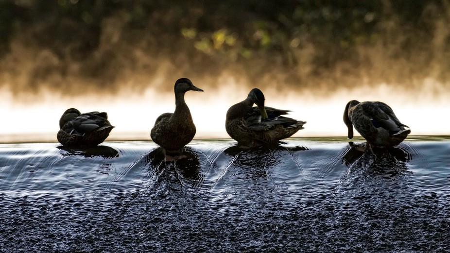 Morning routine at the duck pond.