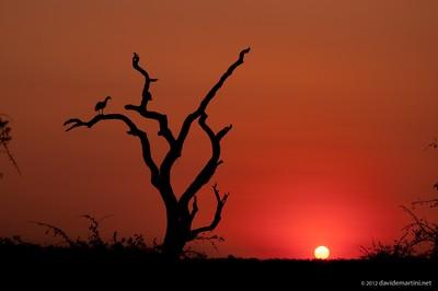 Bustard on the tree at sunset