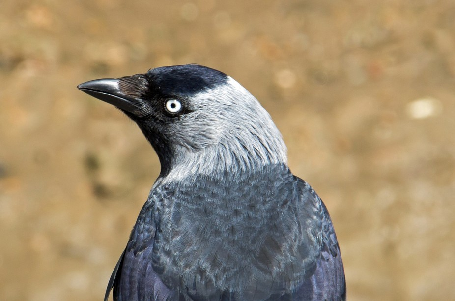 Most people are not keen on the corvid group of birds but I find them interesting and some like t...
