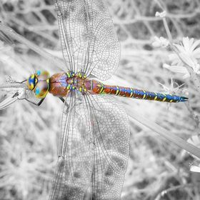Just a dragonfly I saw while out walking.. I decided to Color-pop it.